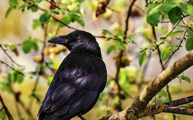 corbeau-prédateur-de-poule