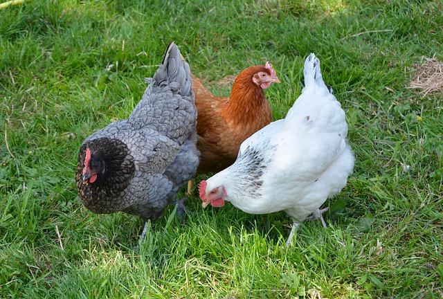 différentes-races-de-poules