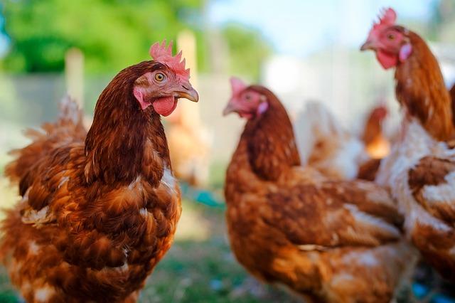 plusieurs-poules-rousses-a-domicile