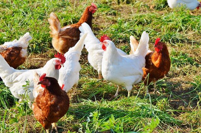 poule-blanche-et-poule-rousse