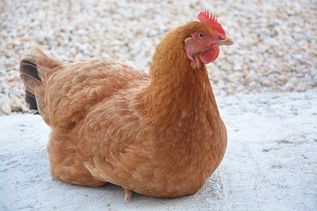 poule-rousse-couchée