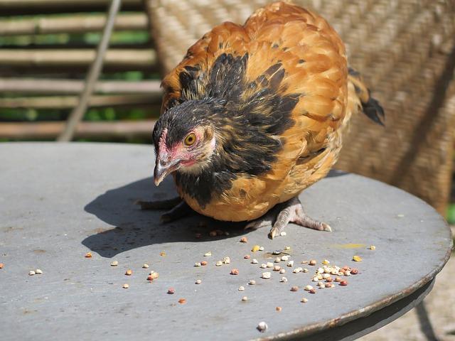 poule-vorwerk-cendrée