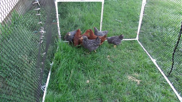 poules-dans-un-enclos