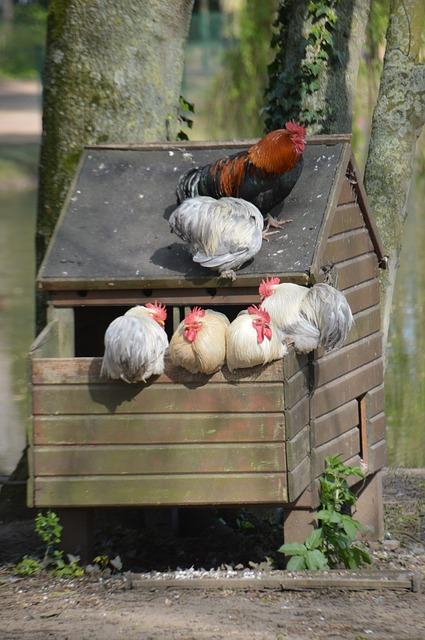 poules-de-jardin-dans-un-poulailler-diy